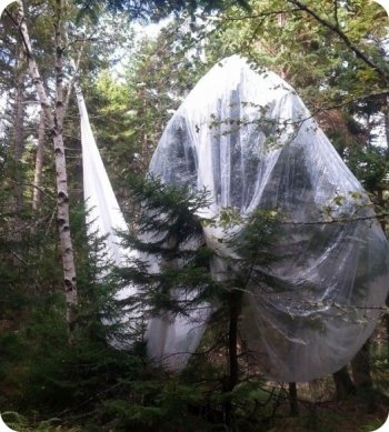 Runaway auxiliary balloon tangled in the trees of Ilesboro, Maine (image: Fred Porter)